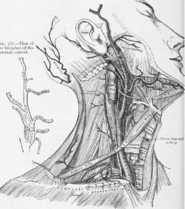 Illustration of the carotid arteries in the neck from an 1897 anatomy text
